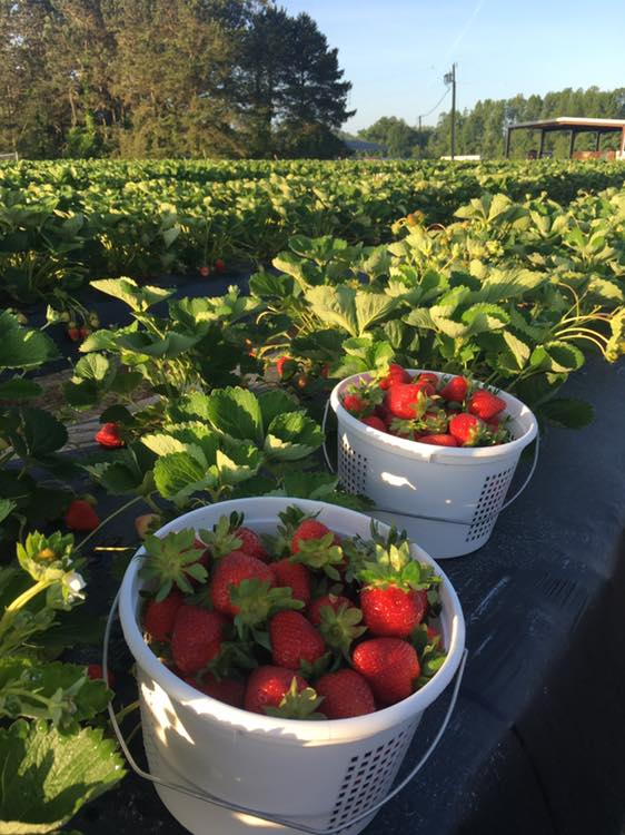 Strawberries growing at Pace Family Farms.
